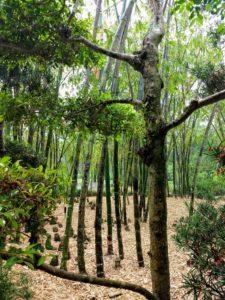 Bamboo Trees, Morikami Gardens